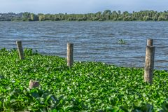 View of lake with common water hyacinths, on the bank, stakes made of wooden logs royalty free stock photography