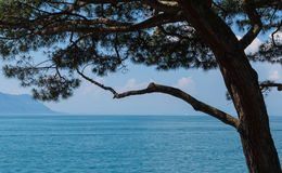 View on lake Leman and pine tree Royalty Free Stock Photography