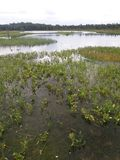 Water vegetation on the lake. View of the lake overgrown with water vegetation Stock Images