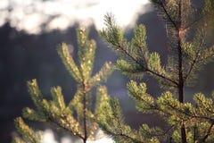 View on lake through pine Royalty Free Stock Photos