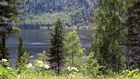 View of Lake Teletskoye in the Altai Republic. A view through flowers and forest on Lake Teletskoye in the Altai Republic stock video footage