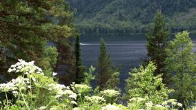 View of Lake Teletskoye in the Altai Republic. A view through flowers and forest on Lake Teletskoye in the Altai Republic stock video