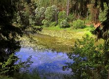 Lake overgrown with green duckweed. View of the lake through the trees overgrown with green duckweed. Summer. Russia Stock Images