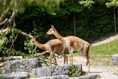 View of a Lama Vicugna in a Zoo garden Stock Photo