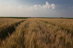 Landscape of cereal field royalty free stock photography