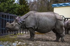 View of a large rhino in the park for a walk.  royalty free stock image