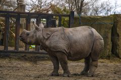 View of a large rhino in the park for a walk.  stock images