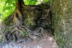 View of the large roots of an old tree protruding from the ground growing next to a stone wall. View of the large roots of an old tree protruding from the stock images