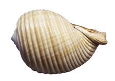 View of a large seashell. On the white background royalty free stock photography