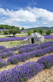 View of Lavender field and blue sky Royalty Free Stock Photo