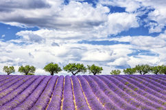 View of lavender field Stock Photography