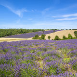 View of Lavender field in Provence Stock Photography