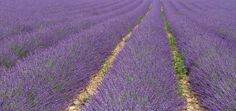 View of the lavender fields in provence. View of the lavender fields in the alpes de hautes provence, on the plateau of valensole, near the luberon Royalty Free Stock Photography