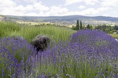 Lavender plants in bloom. View of lavender plants and surrounding hills of Namarata Bench in British Columbia stock photos