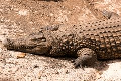 View on a lazy crocodile or alligator. View on a lazy crocodile lying on the ground - head view Royalty Free Stock Images