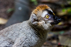 View of a Lemur in a zoo Stock Photos