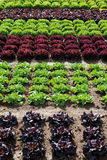 View of lettuce cultivation in a row Royalty Free Stock Images