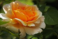 ROSE WITH BRIGHT YELLOW CENTRE. View of light on open yellow rose with a bright centre in a garden in summer Royalty Free Stock Photo