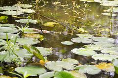 View of lily pads in pond Royalty Free Stock Images
