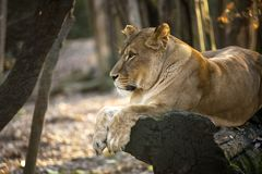 View of lion in the forest royalty free stock images
