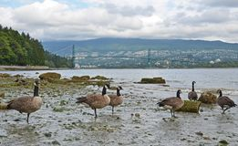 A view of Lions gate Bridge from Stanley Park Royalty Free Stock Image