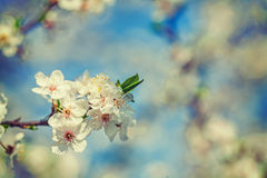 View the litle branch of blossoming apple tree on Royalty Free Stock Photo
