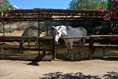White horses inside the paddocks Royalty Free Stock Photos