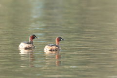 Little grebes. Royalty Free Stock Images