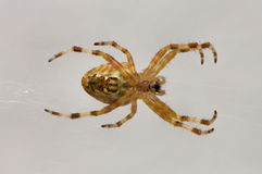 View of living spider in its web Stock Photo