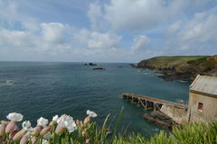 View from Lizard Cove with Sea Campion. View from Lizard Cove in Cornwall UK with Sea Campion in the front. Port building. Spring Stock Photo