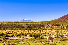 Llama and volcano Lascar in the Altiplano of Bolivia stock images