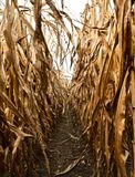 A WALK THROUGH A RIPENED CORN FIELD stock photography