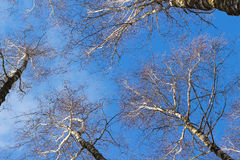 View looking up at birch branches and blue sky in winter day. Royalty Free Stock Image