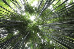 Thin green tall converging bamboo Stock Photography