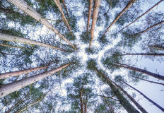 View looking up to sky through pine trees Royalty Free Stock Images