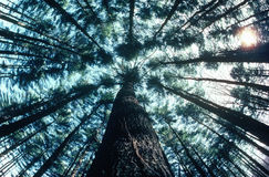 View looking up at trees in forest Stock Images