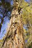 View looking up the trunk of a conifer. Showing the texture of the rough bark and height of the tree and its canopy of autumn foliage Stock Photo