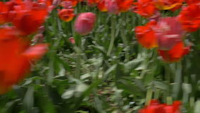 View of a lot of red and pink tulips field. View of red tulips field. Top and side view of spring bright flowers with leaves growing on the ground in daylight in stock footage
