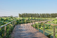 View lotus plank road Stock Image