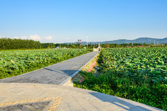 View lotus road royalty free stock photo