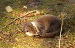 Otter resting on the grass. View of a lovely otter resting on the grass Stock Images