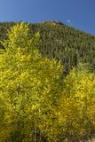 Golden Aspens below Lumpy Ridge Royalty Free Stock Image
