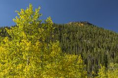 Lumpy Ridge Peak and Golden Aspen Trees Stock Images