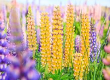 View of Lupin Flower Field near Lake Tekapo Landscape, New Zealand. Various, Colorful Lupin Flowers in full bloom with background Stock Photo