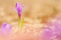 View of magic blooming spring flowers crocus growing from old dry fern in wildlife. Beautiful macro photo of wildgrowing crocus Royalty Free Stock Photos