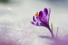 View of magic blooming spring flowers crocus growing from snow in wildlife. Amazing sunlight on spring flower crocus Royalty Free Stock Image