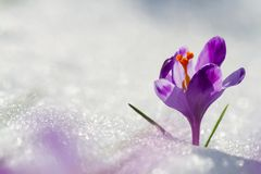 View of magic blooming spring flowers crocus growing from snow in wildlife. Amazing sunlight on spring flower crocus.  royalty free stock images