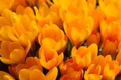 View of magic blooming spring flowers yellow crocus growing in w Stock Image