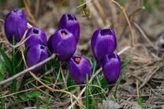 View of magic blooming spring flowers crocus Stock Photography