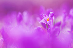 View of magic violet blooming spring flowers crocus growing in wildlife. Beautiful macro photo of wildgrowing crocus in soft viol Royalty Free Stock Photos